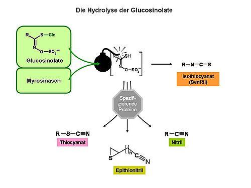 Abbau der Glucosinolate zu biologisch aktiven Produkten