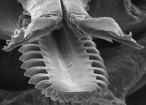 Der Zecke ins Maul geschaut. Rasterelektronenmikroskopische Aufnahme der Mundwerkzeuge einer weiblichen Ixodes ricinus Zecke.